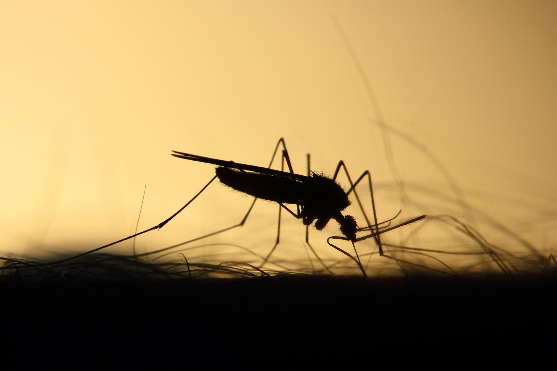 蚊のシルエット